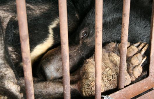bile bear again