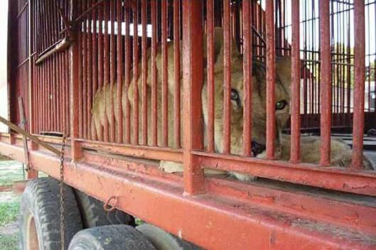 circus animal lion