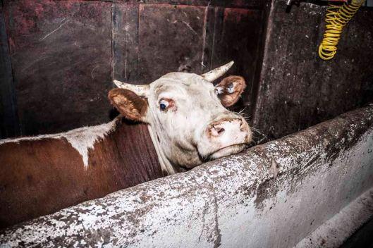 cow again