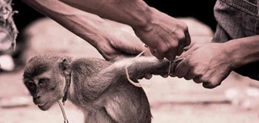 tied up monkey