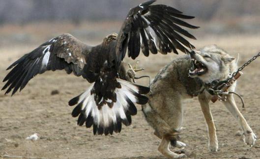 wolf baiting